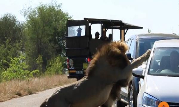 Sư tử đực tấn công ôtô để gây ấn tượng với bạn tình